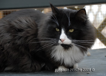 Admiral. Bosque de Noruega - Norwegian forest cat