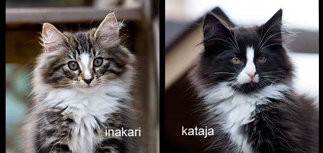 Litter S - Tsavo*ES Norwegian forest cats