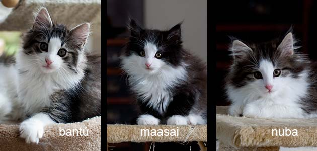 Litter T - Tsavo*ES Norwegian forest cats